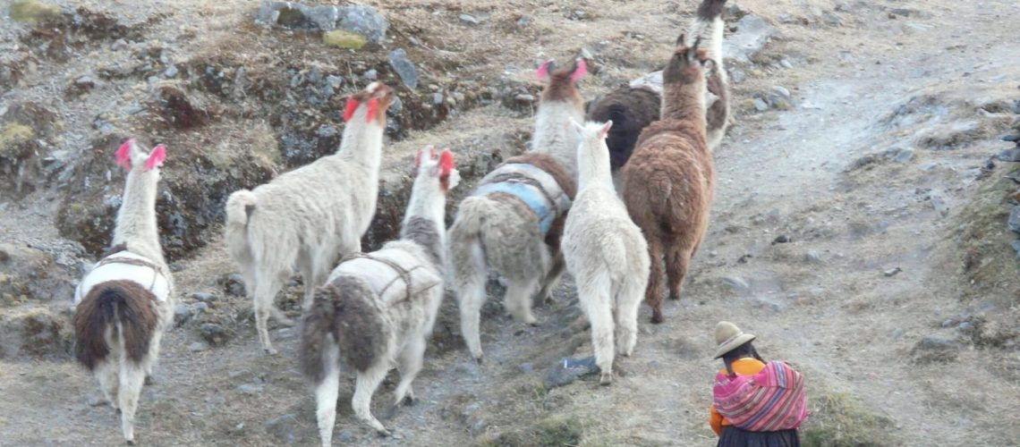 Llamas with colourful headgear in Q'eros.