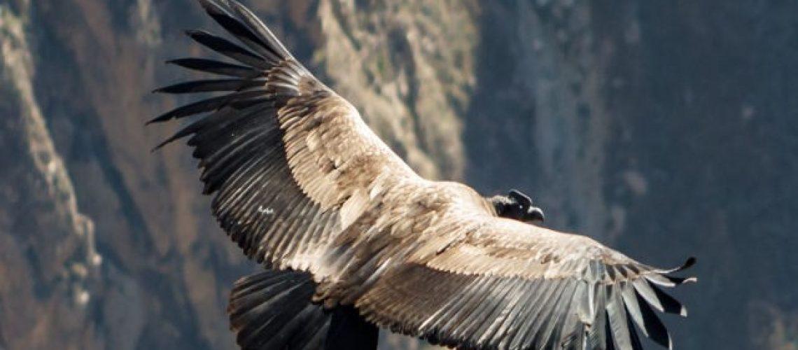 Condor 640px